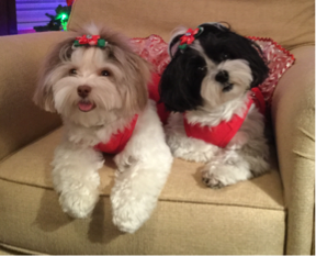 Havanese Puppies - Kiya and Dakota