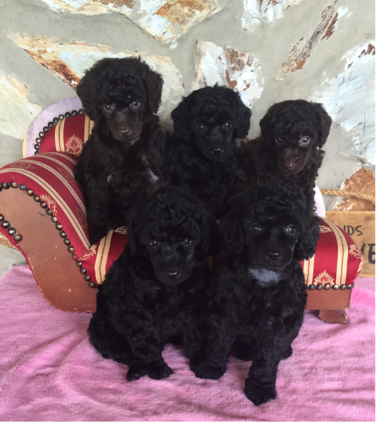 Miniature Poodle Puppies for Sale Florida