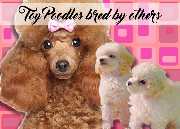 Toy Poddle Puppies for Sale